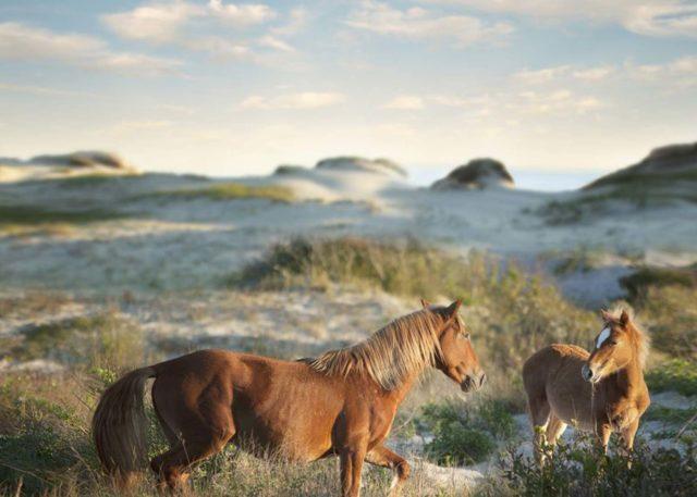 two wild horses on a a seashore