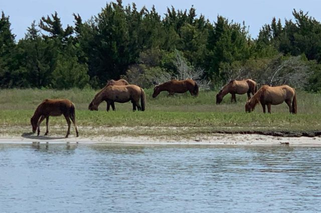 Five brown horses standing in water and drinking