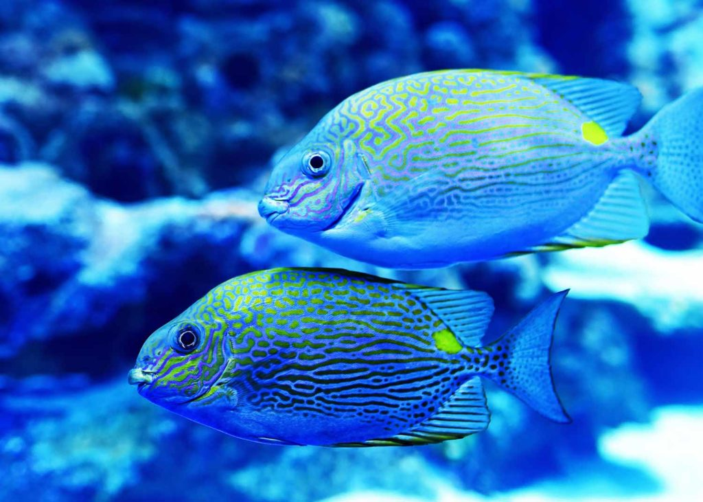 two bright striped fish in aquarium