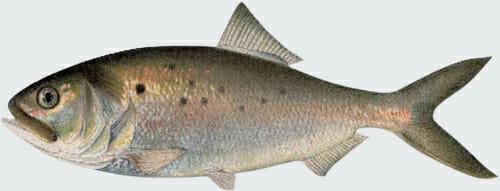 Cutout of an illustration of Menhaden Fish