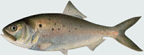 Cutout of an illustration of Menhaden Fish