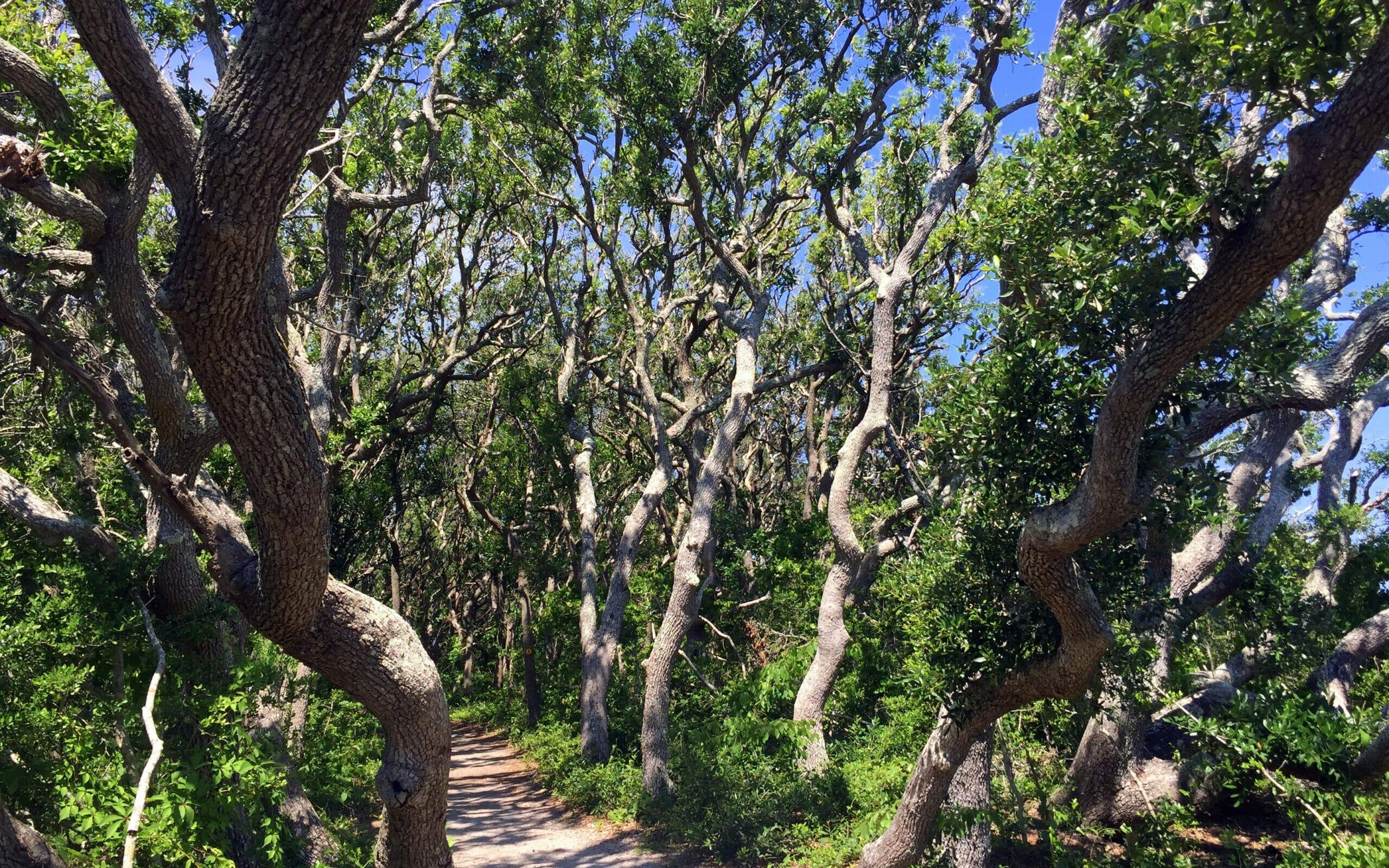 Pathway through twisty trees