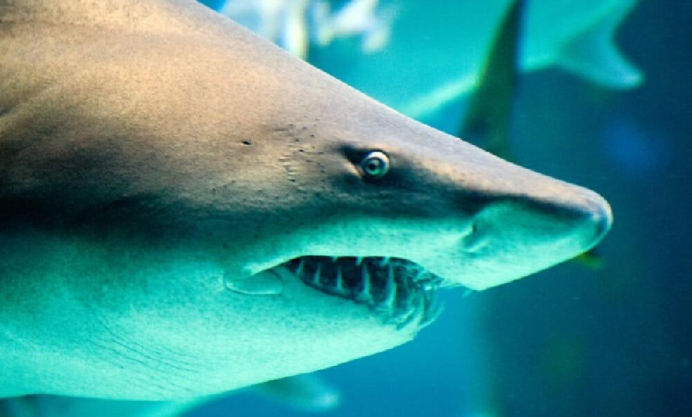Close up of a shark's face