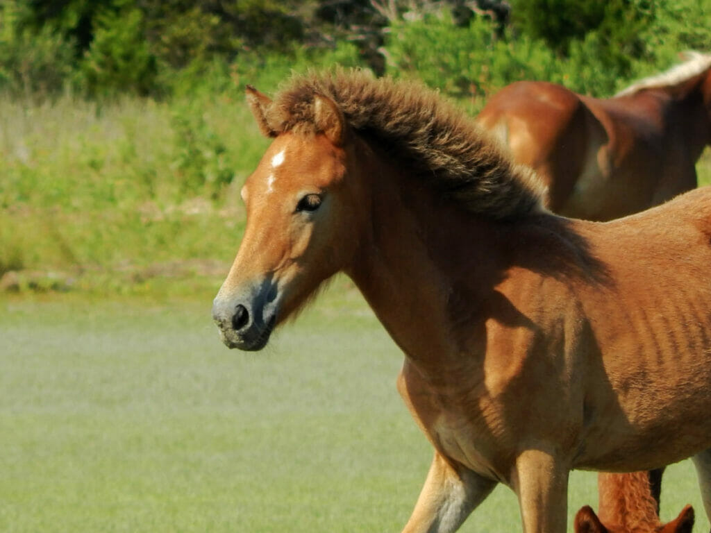 Brown horse with puffy main