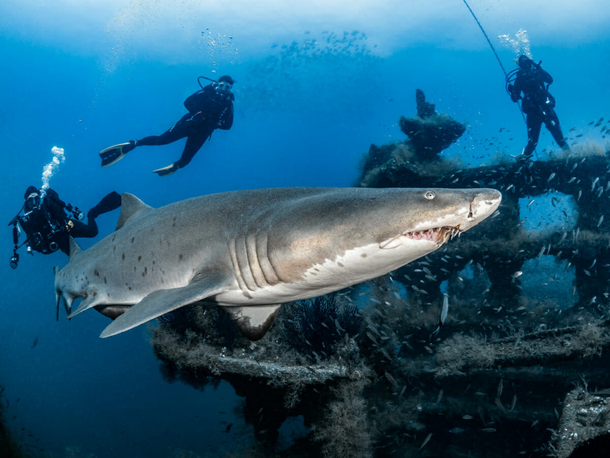 Three diver near ship wreck with shark swimming past