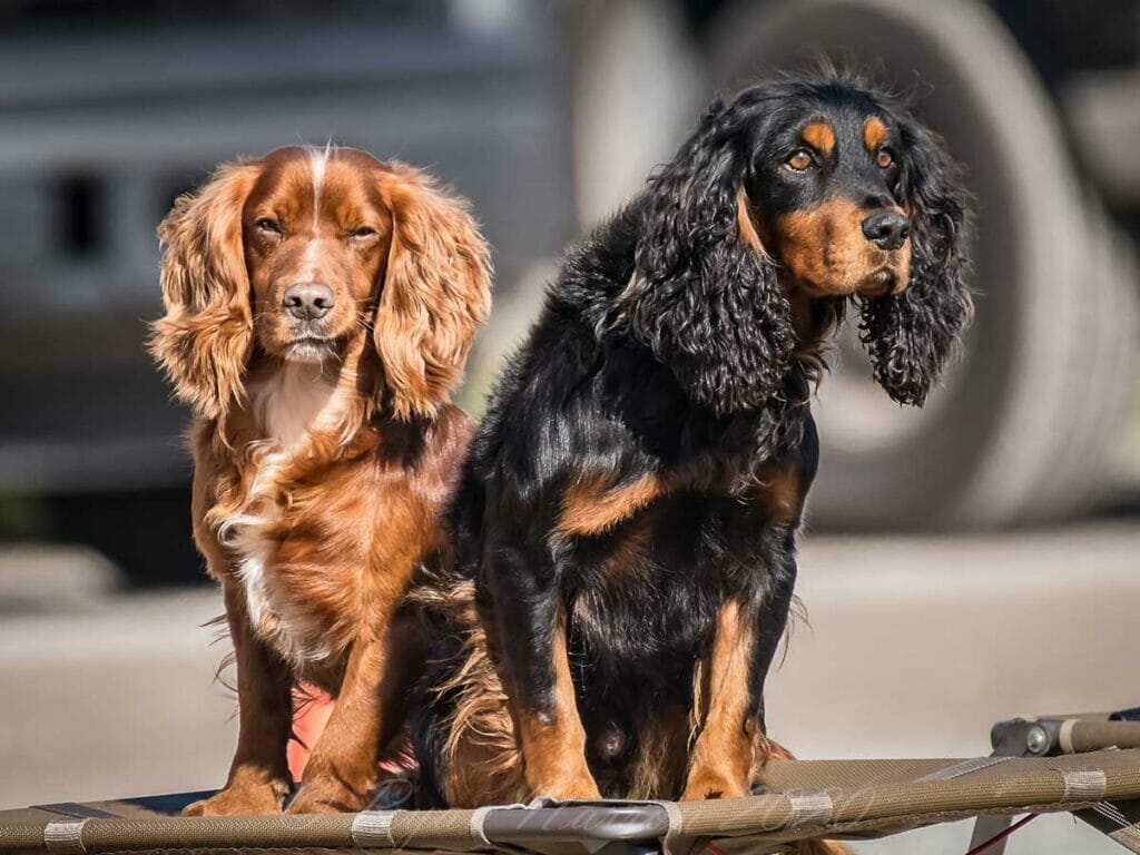 photo of 2 dogs - one brown in color and another a mixture of black and brown